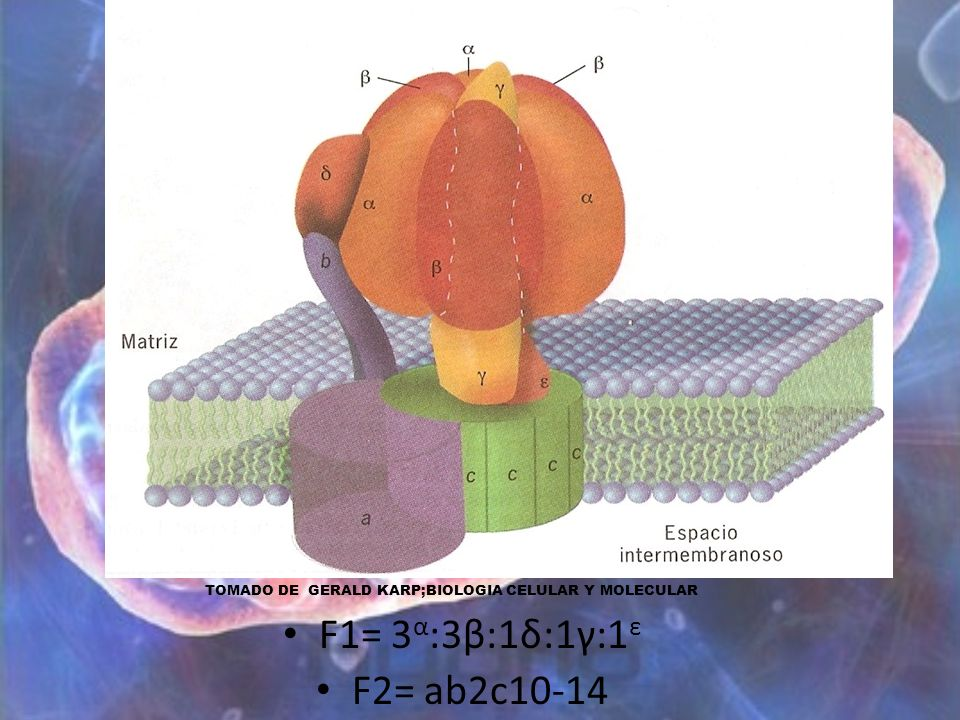 F1= 3α:3β:1δ:1γ:1ε F2= ab2c10-14 TOMADO DE GERALD KARP;BIOLOGIA CELULAR Y MOLECULAR