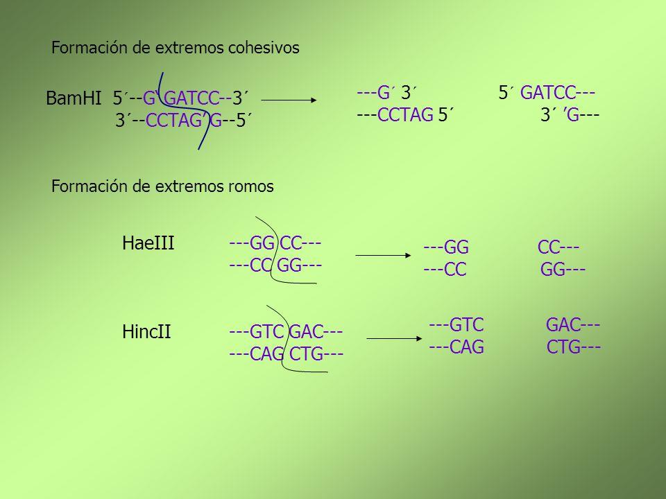---G´ 3´ 5´ GATCC--- ---CCTAG 5´ 3´ 'G--- BamHI 5´--G' GATCC--3´