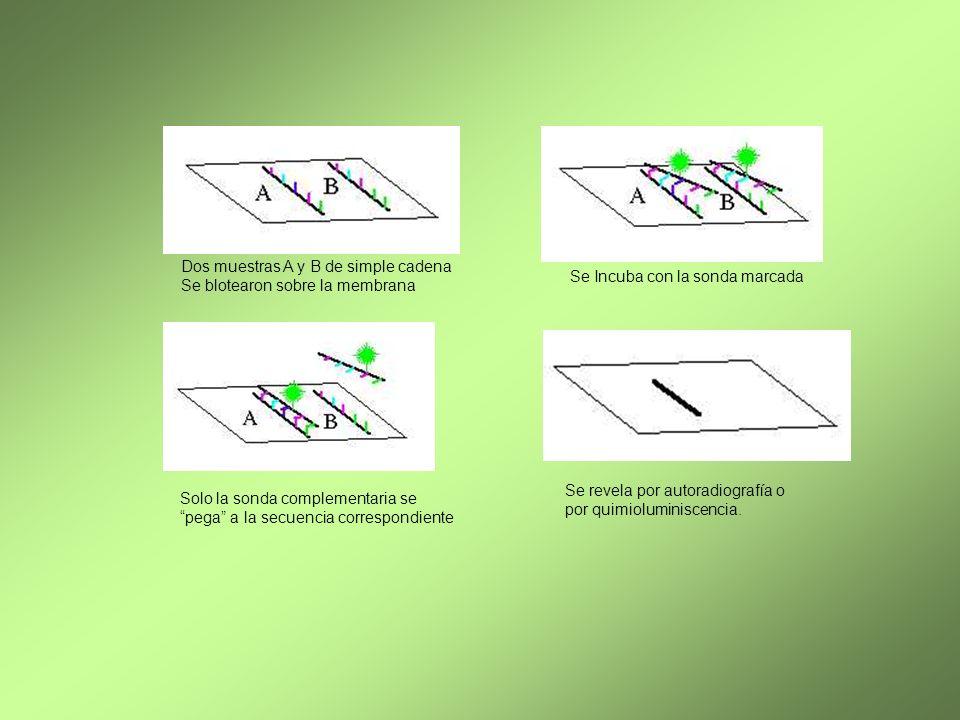Dos muestras A y B de simple cadena