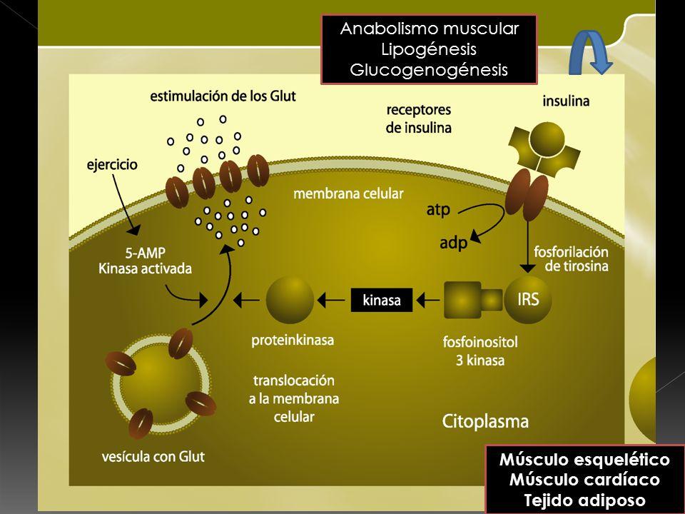 Anabolismo muscular Lipogénesis. Glucogenogénesis.