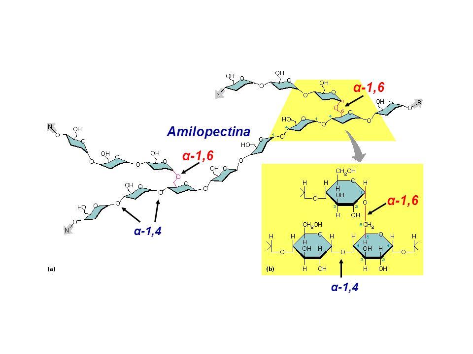 α-1,6 Amilopectina α-1,6 α-1,6 α-1,4 α-1,4