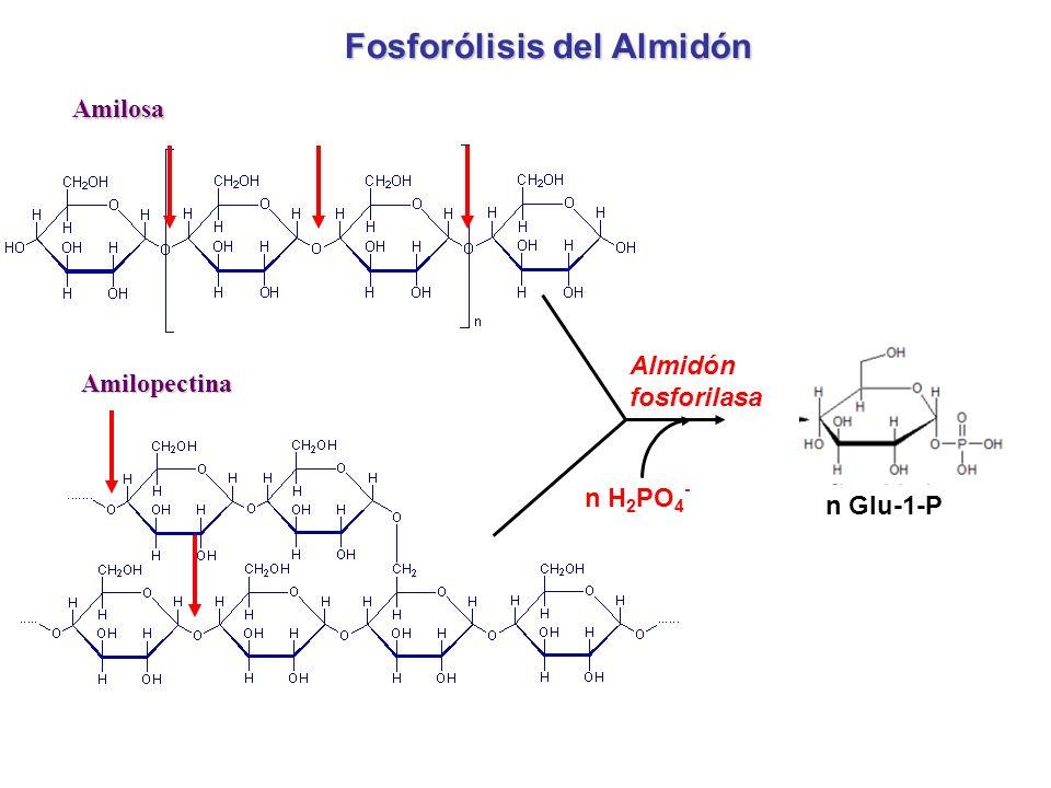 Fosforólisis del Almidón