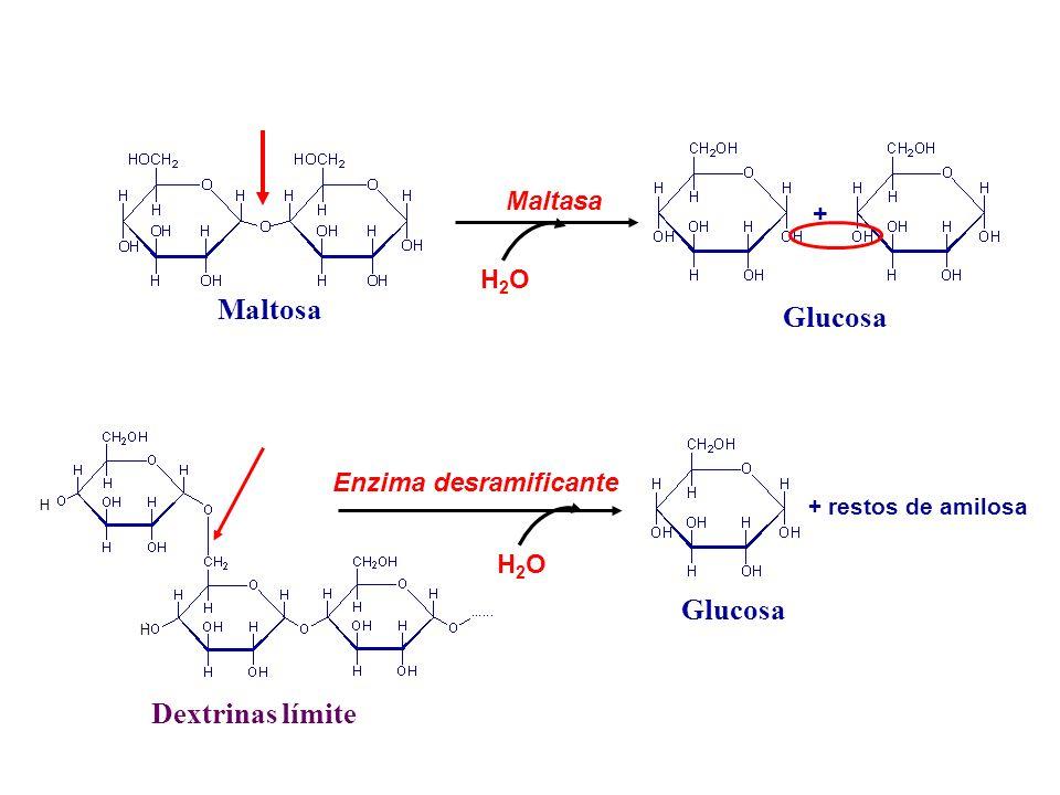 Maltosa Glucosa Glucosa Dextrinas límite Maltasa + H2O