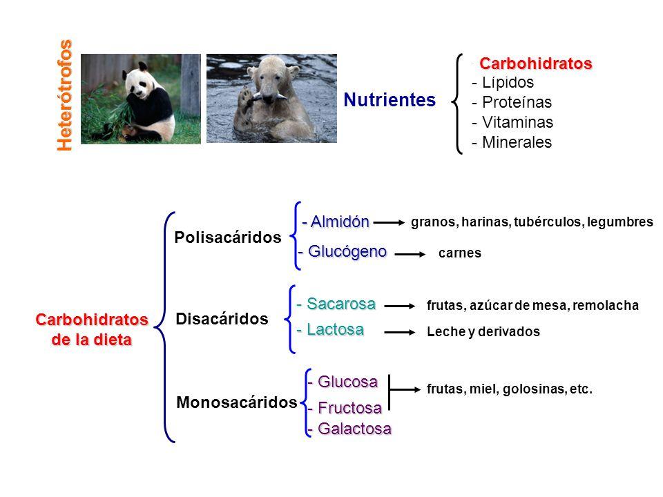 Heterótrofos Nutrientes Carbohidratos Lípidos Proteínas Vitaminas