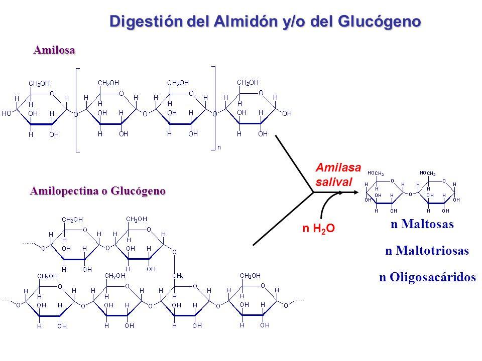 Digestión del Almidón y/o del Glucógeno