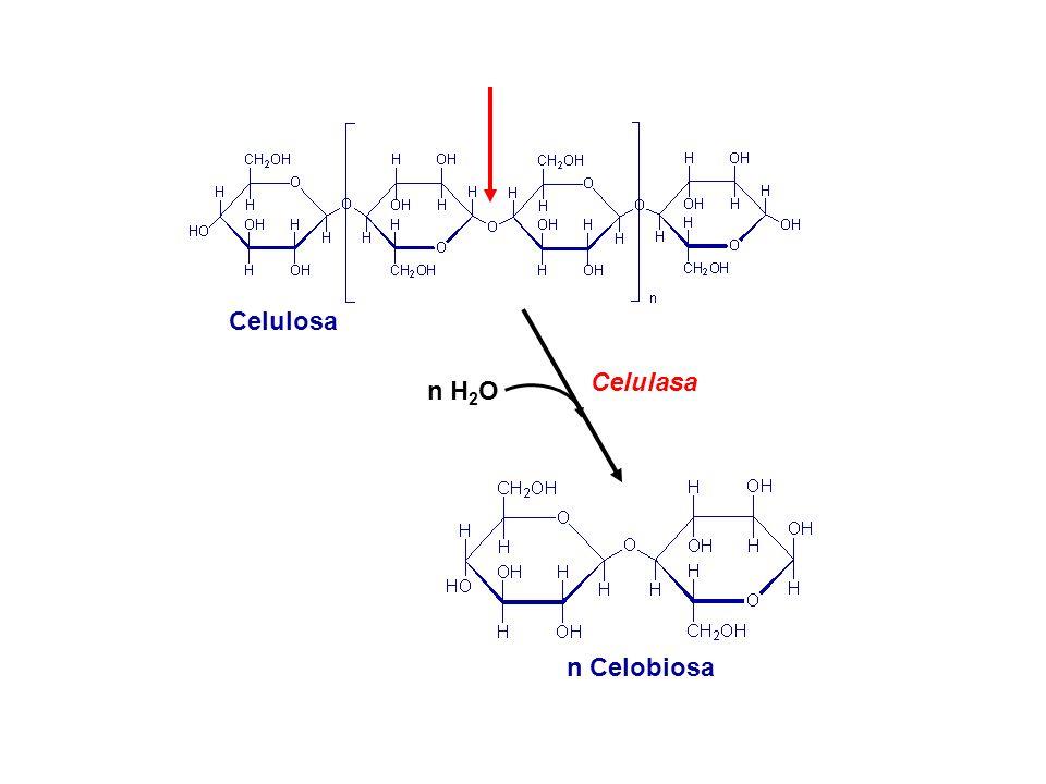 Celulosa Celulasa n H2O n Celobiosa
