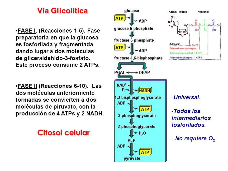 Vía Glicolítica Citosol celular