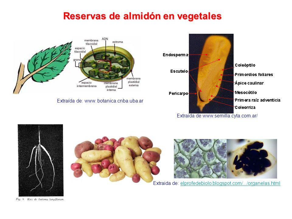 Reservas de almidón en vegetales
