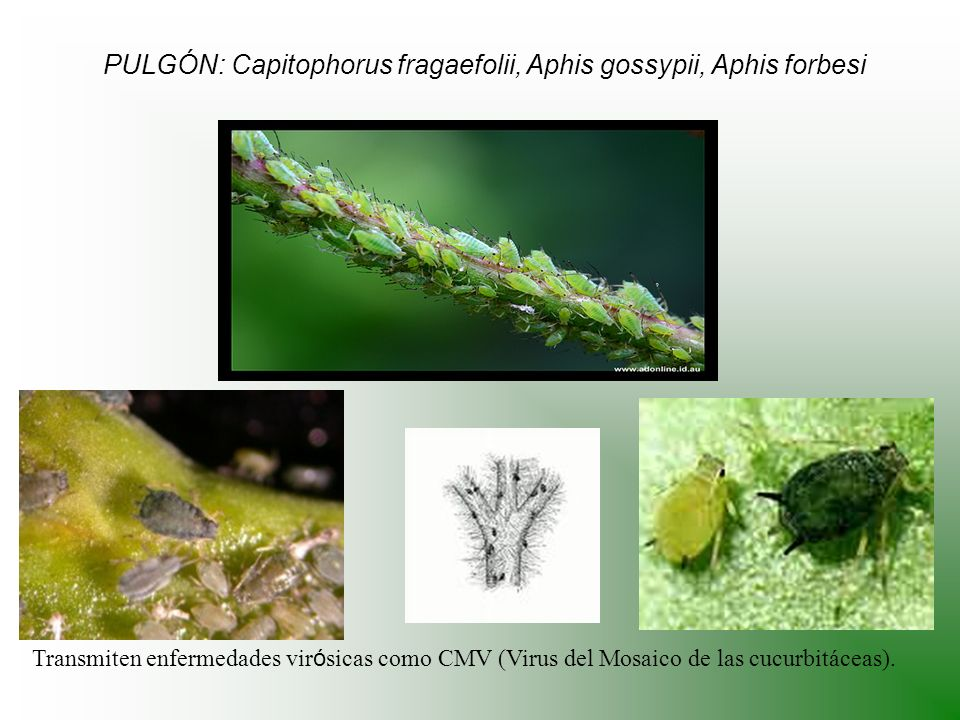PULGÓN: Capitophorus fragaefolii, Aphis gossypii, Aphis forbesi