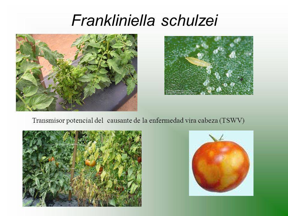 Frankliniella schulzei
