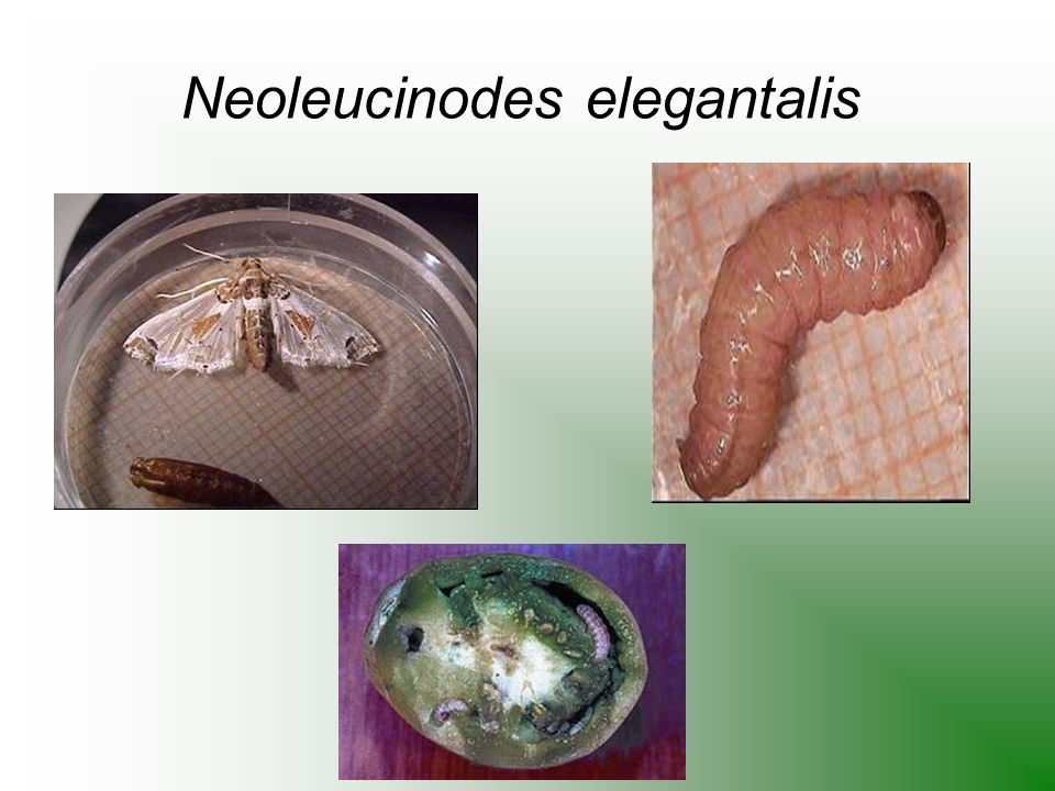 Neoleucinodes elegantalis