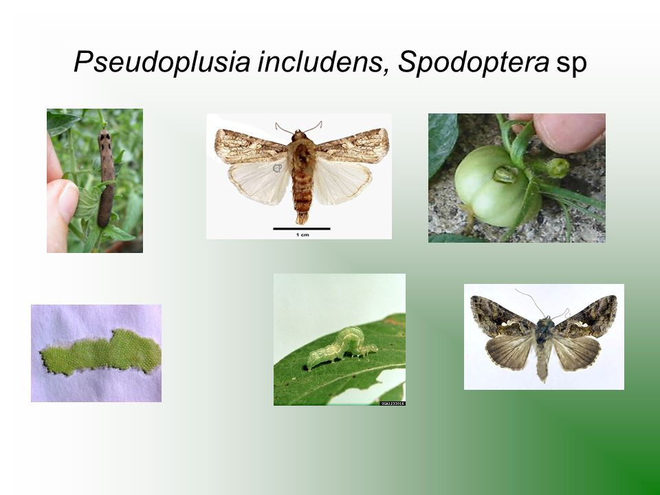 Pseudoplusia includens, Spodoptera sp