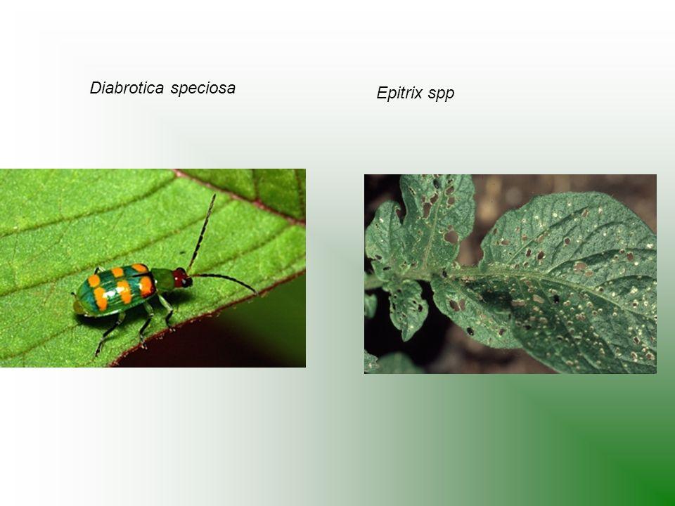 Diabrotica speciosa Epitrix spp