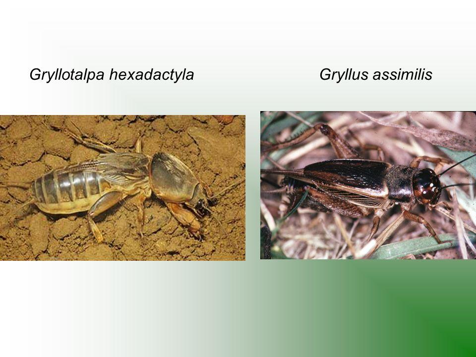 Gryllotalpa hexadactyla Gryllus assimilis