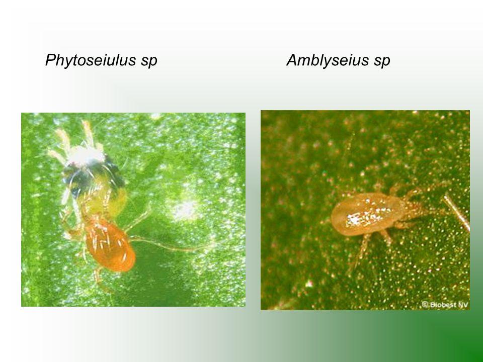 Phytoseiulus sp Amblyseius sp