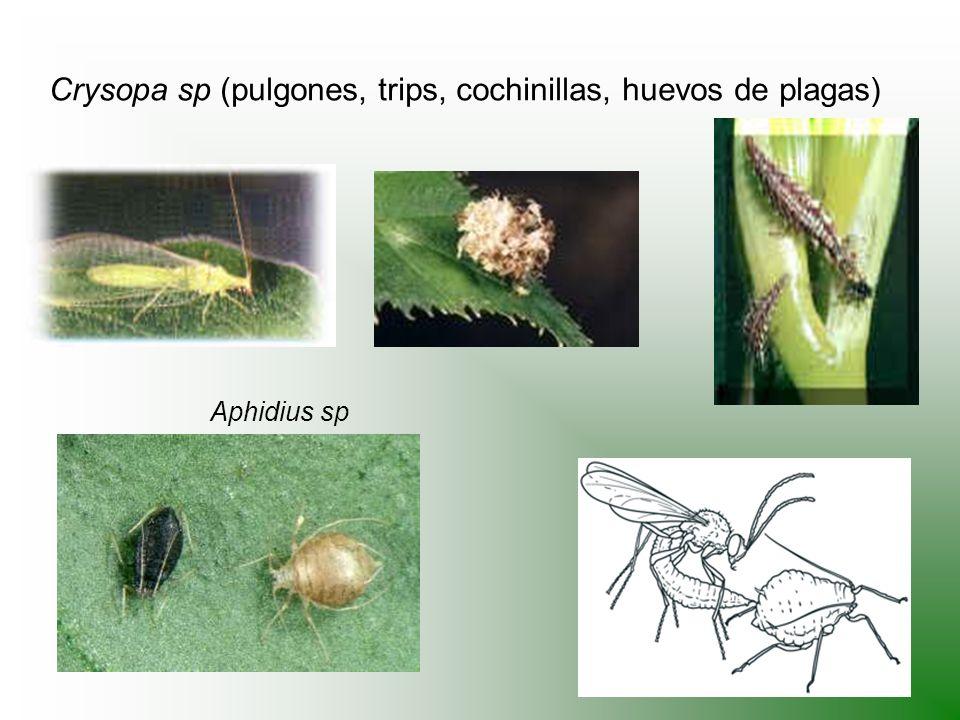 Crysopa sp (pulgones, trips, cochinillas, huevos de plagas)