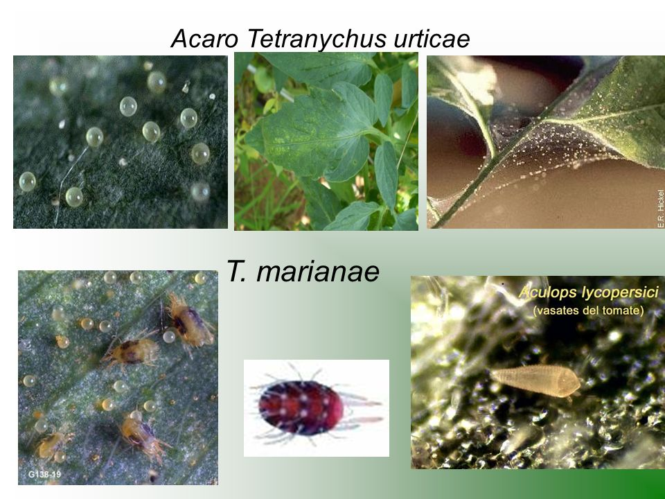 Acaro Tetranychus urticae