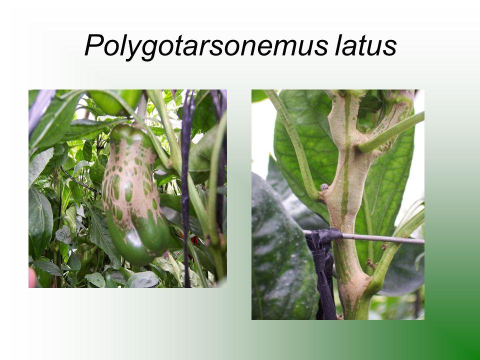 Polygotarsonemus latus