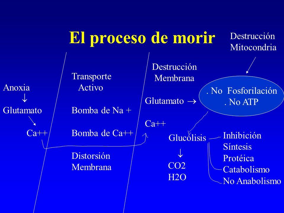 El proceso de morir Destrucción Mitocondria Destrucción Membrana