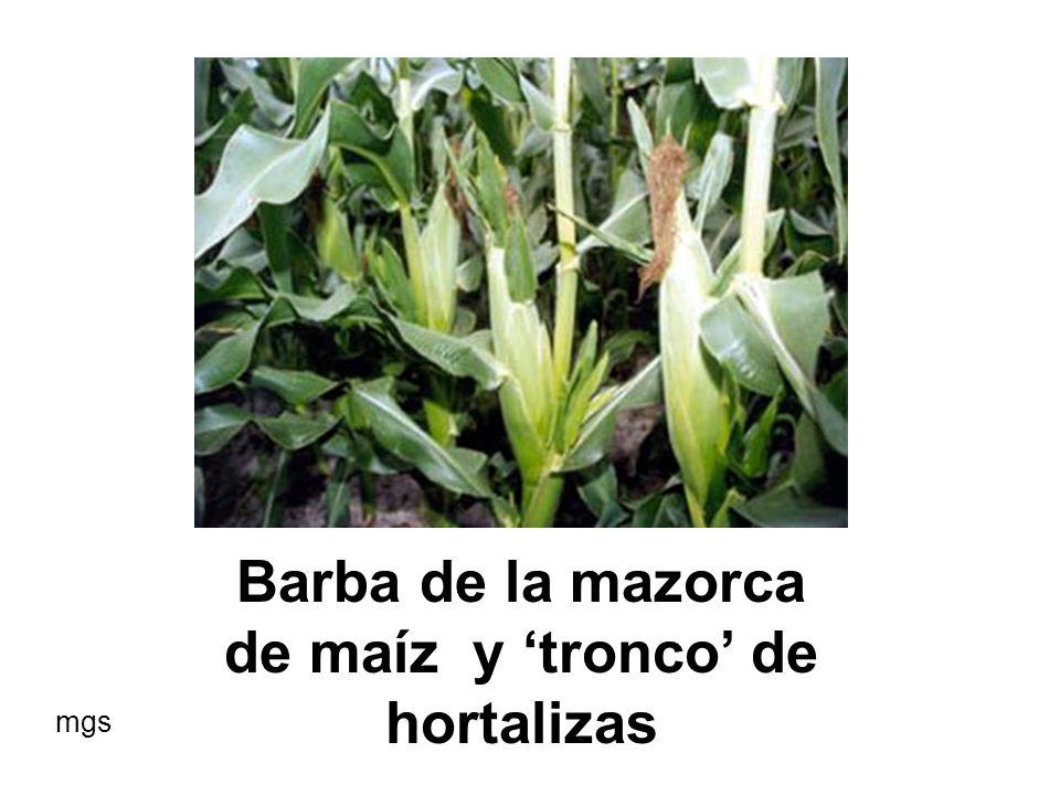 Barba de la mazorca de maíz y 'tronco' de hortalizas