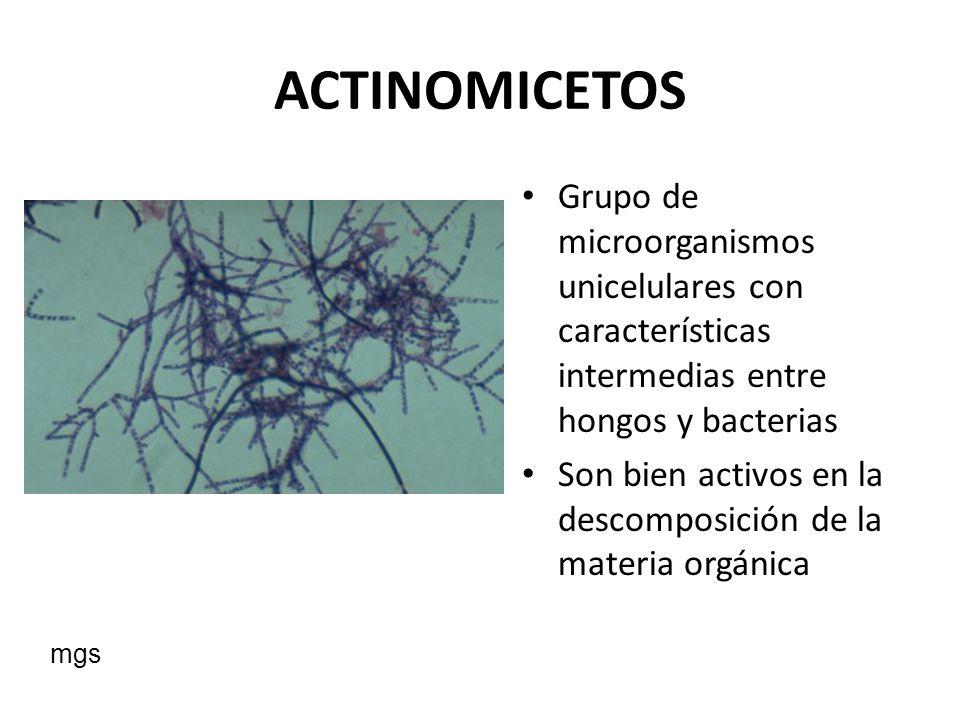 ACTINOMICETOS Grupo de microorganismos unicelulares con características intermedias entre hongos y bacterias.