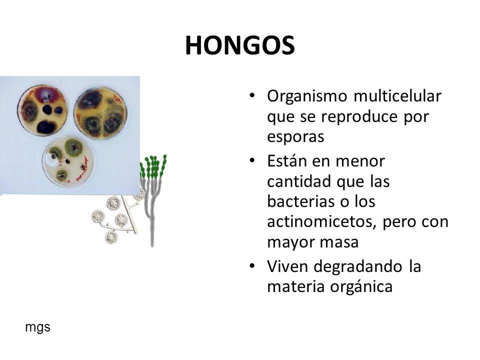 HONGOS Organismo multicelular que se reproduce por esporas