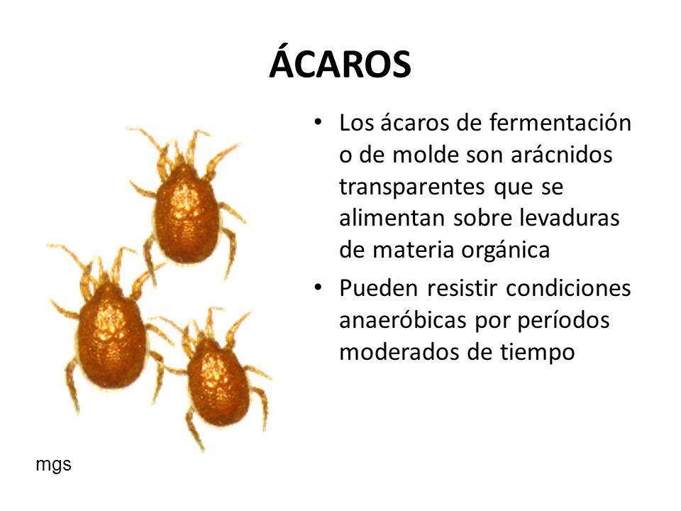 ÁCAROS Los ácaros de fermentación o de molde son arácnidos transparentes que se alimentan sobre levaduras de materia orgánica.