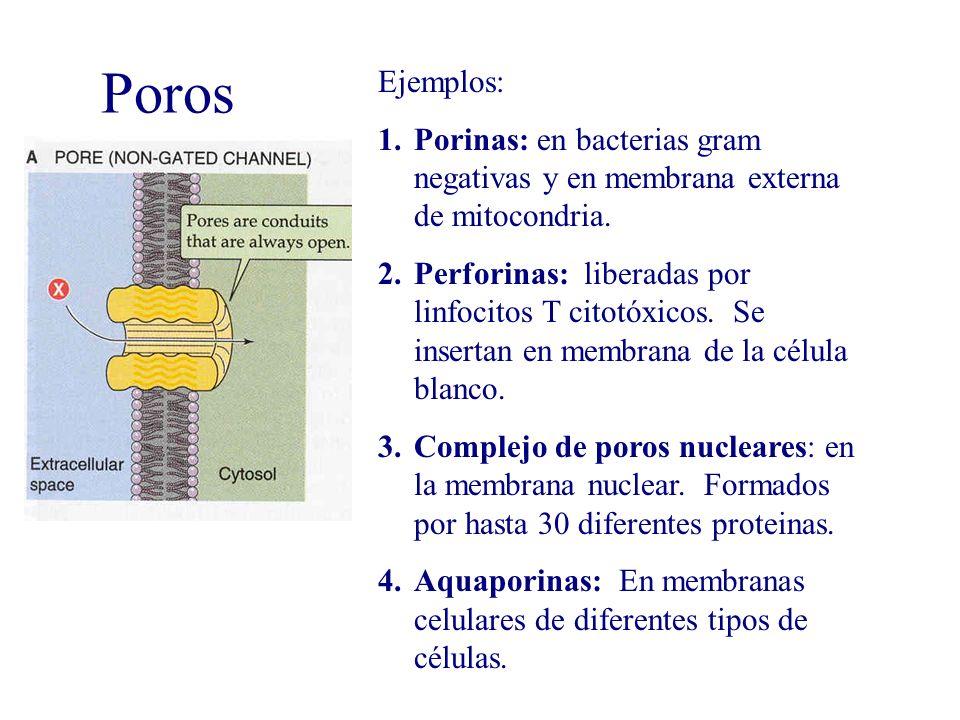 Ejemplos: Porinas: en bacterias gram negativas y en membrana externa de mitocondria.
