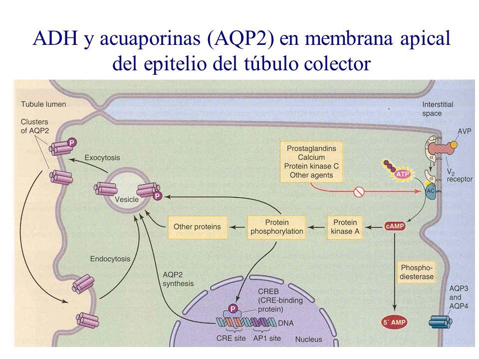 ADH y acuaporinas (AQP2) en membrana apical del epitelio del túbulo colector