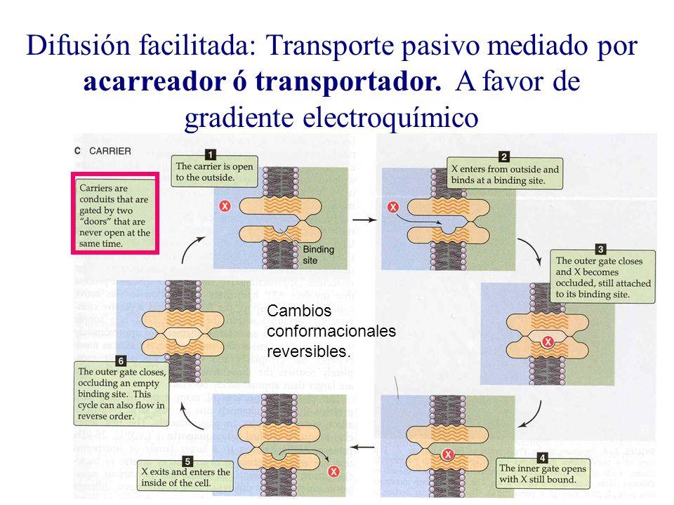 Difusión facilitada: Transporte pasivo mediado por acarreador ó transportador. A favor de gradiente electroquímico