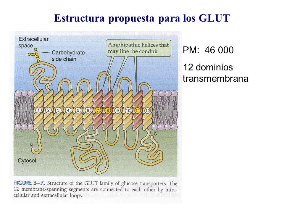 Estructura propuesta para los GLUT