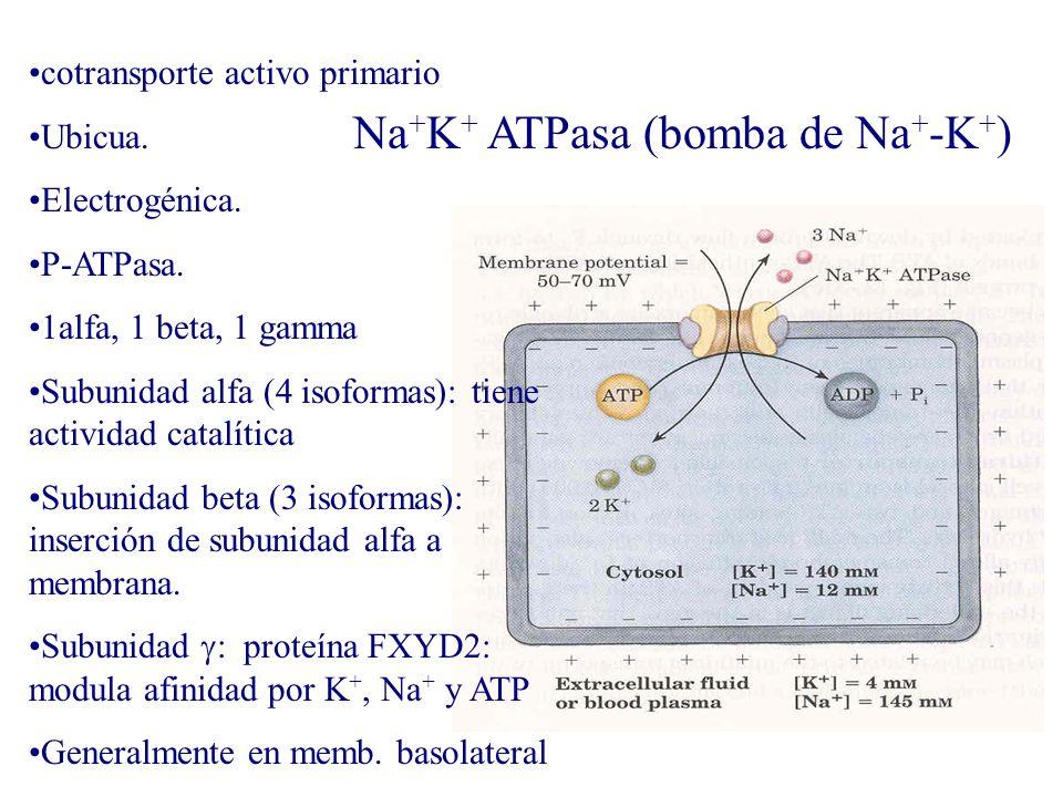 Na+K+ ATPasa (bomba de Na+-K+)