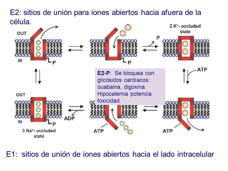 E2: sitios de unión para iones abiertos hacia afuera de la célula.