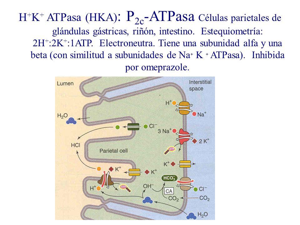 H+K+ ATPasa (HKA): P2c-ATPasa Células parietales de glándulas gástricas, riñón, intestino.