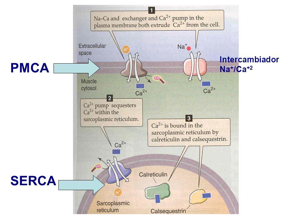 SERCA PMCA Intercambiador Na+/Ca+2