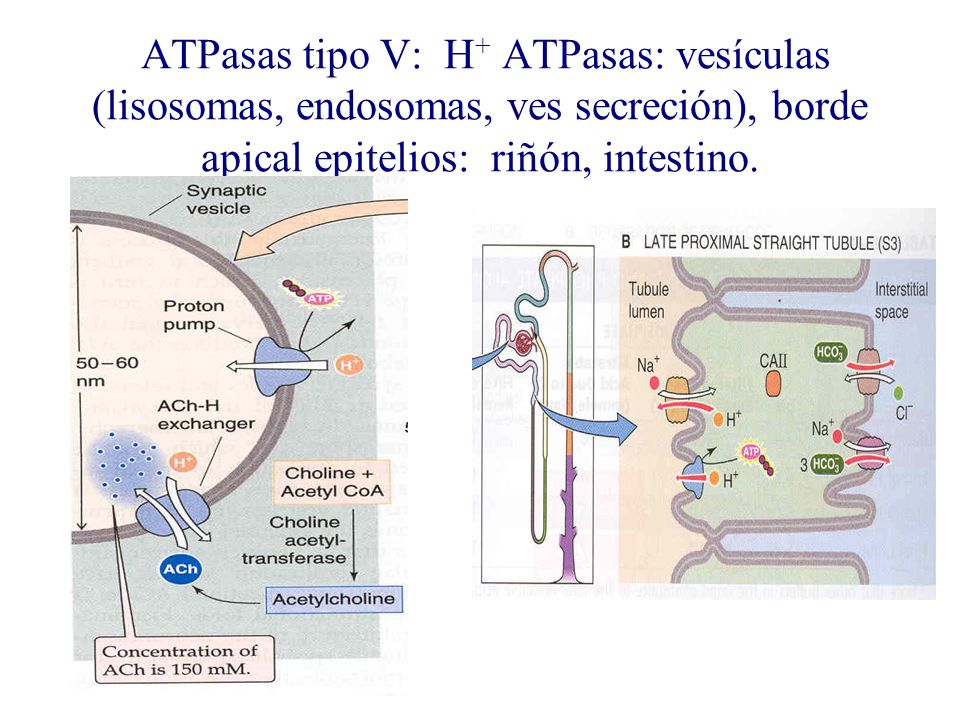 ATPasas tipo V: H+ ATPasas: vesículas (lisosomas, endosomas, ves secreción), borde apical epitelios: riñón, intestino.