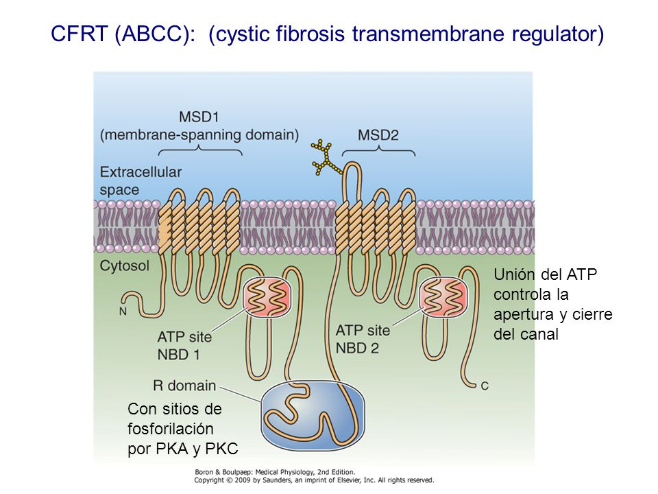 CFRT (ABCC): (cystic fibrosis transmembrane regulator)