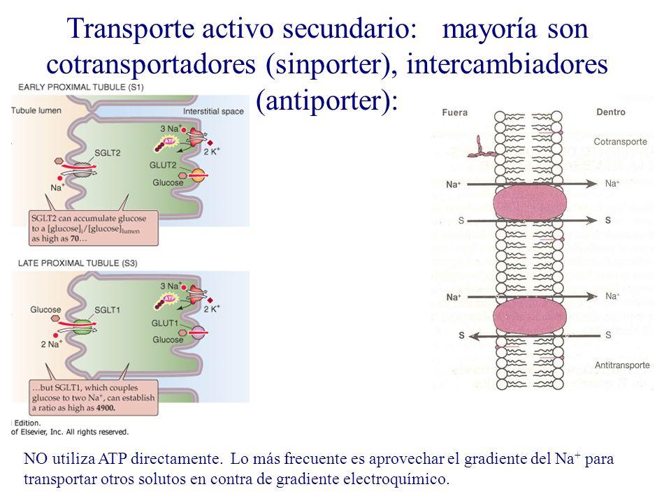 Transporte activo secundario: mayoría son cotransportadores (sinporter), intercambiadores (antiporter):