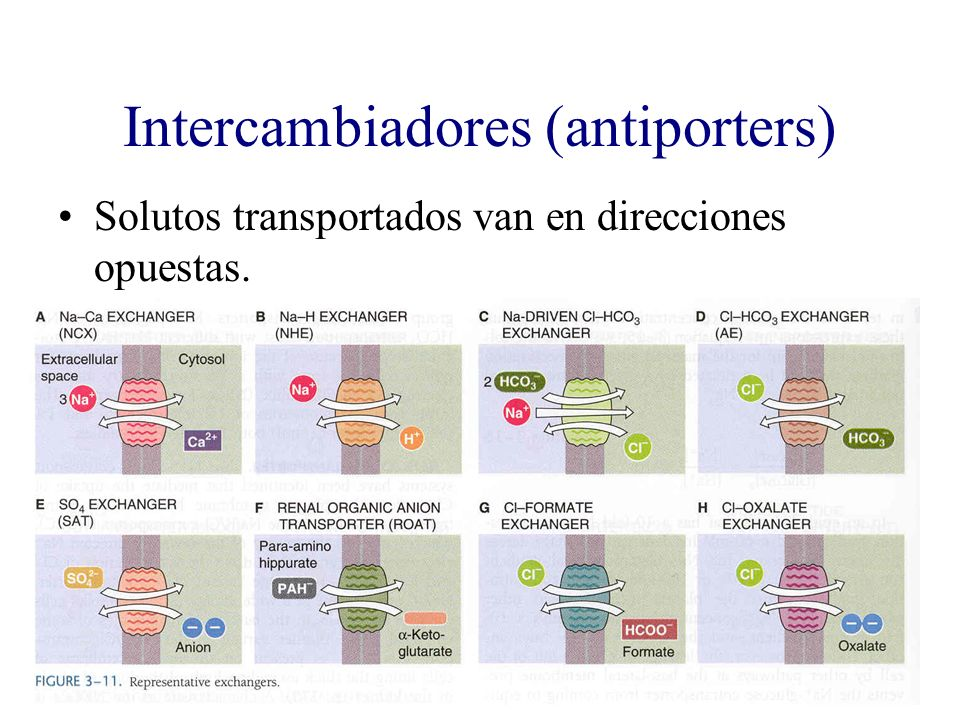 Intercambiadores (antiporters)