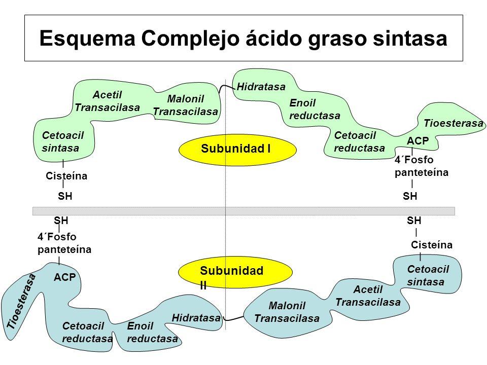 Esquema Complejo ácido graso sintasa