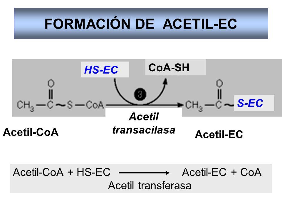 FORMACIÓN DE ACETIL-EC