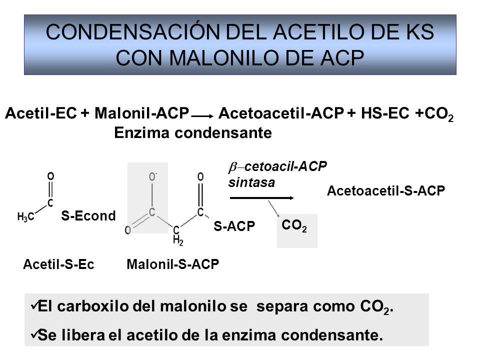 CONDENSACIÓN DEL ACETILO DE KS CON MALONILO DE ACP