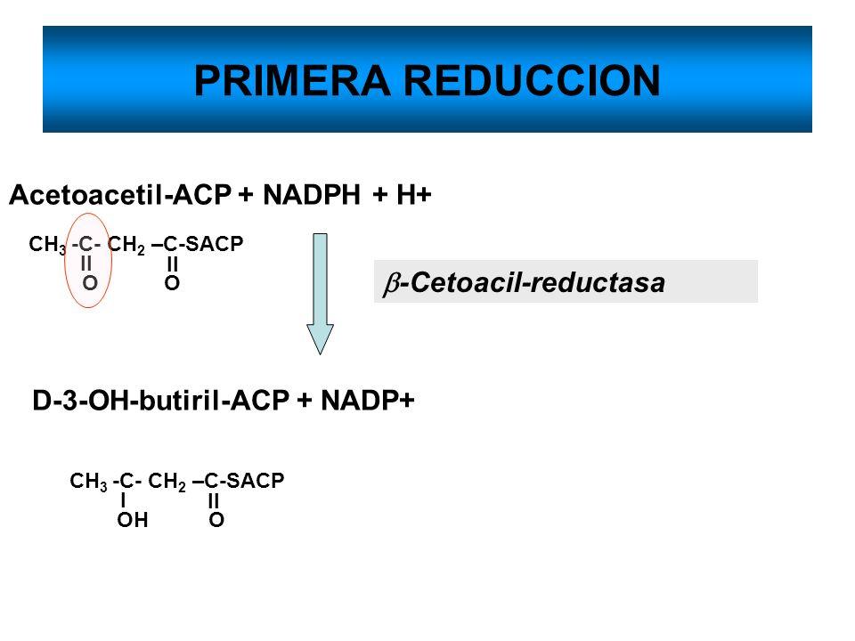 PRIMERA REDUCCION Acetoacetil-ACP + NADPH + H+ b-Cetoacil-reductasa