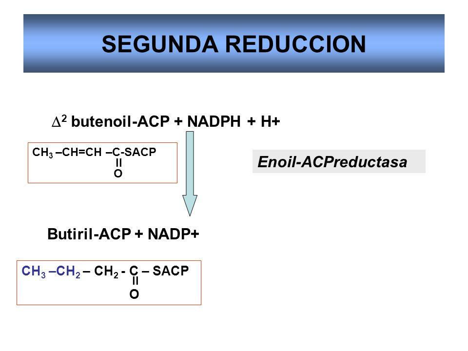 SEGUNDA REDUCCION D2 butenoil-ACP + NADPH + H+ Enoil-ACPreductasa