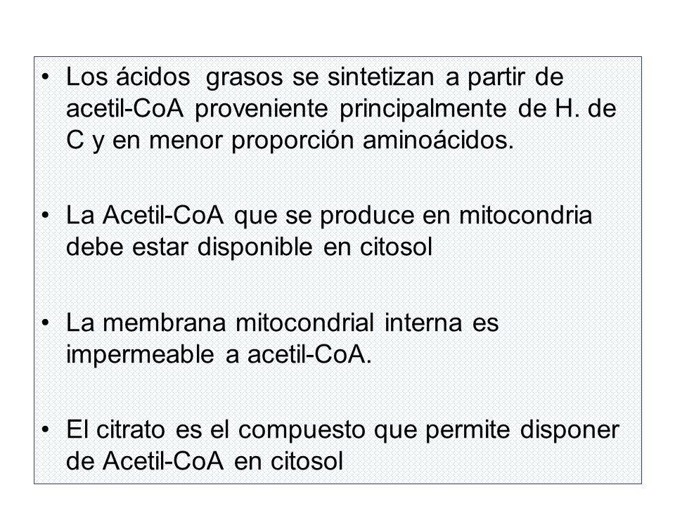 Los ácidos grasos se sintetizan a partir de acetil-CoA proveniente principalmente de H. de C y en menor proporción aminoácidos.