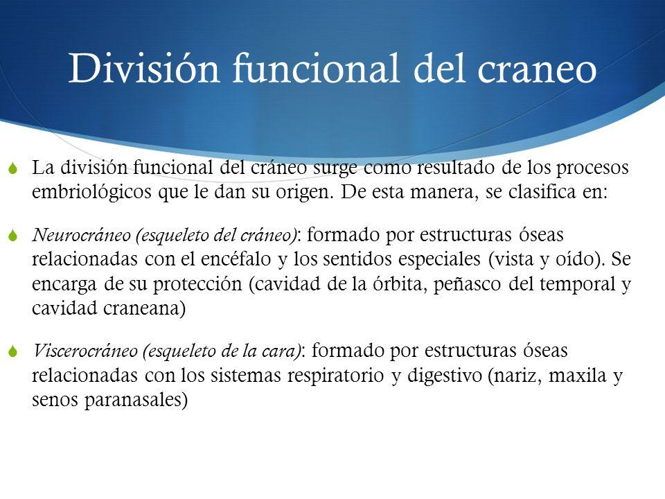 División funcional del craneo