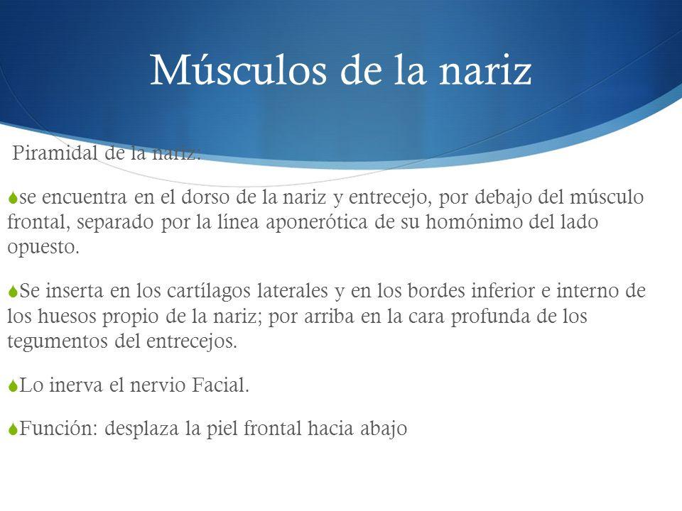 Músculos de la nariz Piramidal de la nariz: