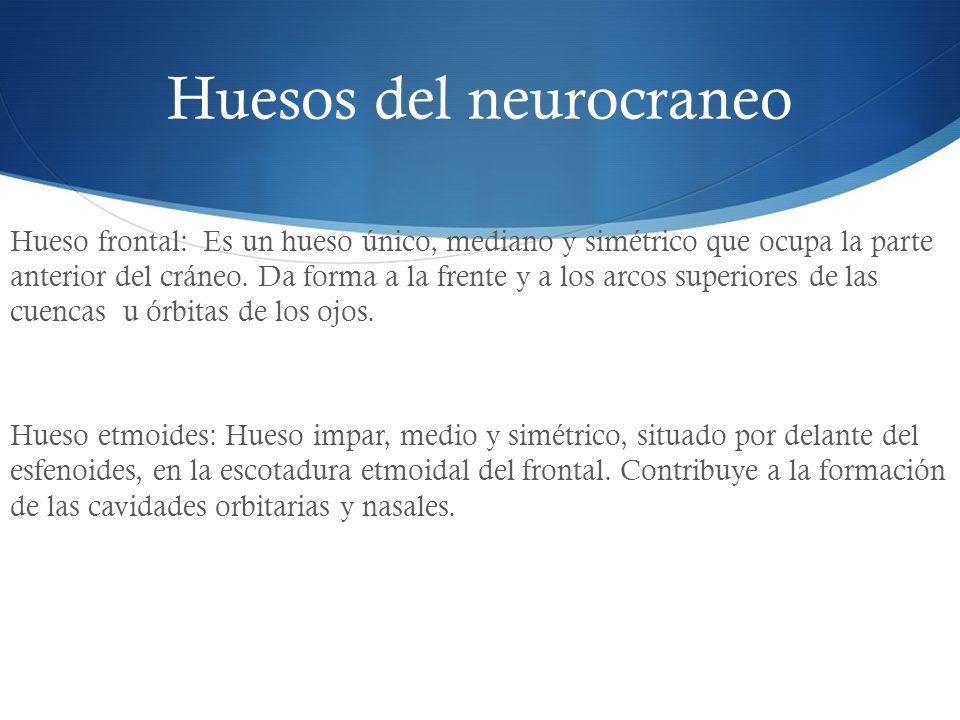 Huesos del neurocraneo