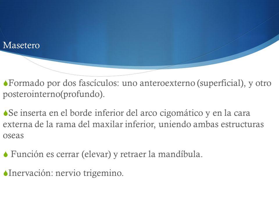 MaseteroFormado por dos fascículos: uno anteroexterno (superficial), y otro posterointerno(profundo).