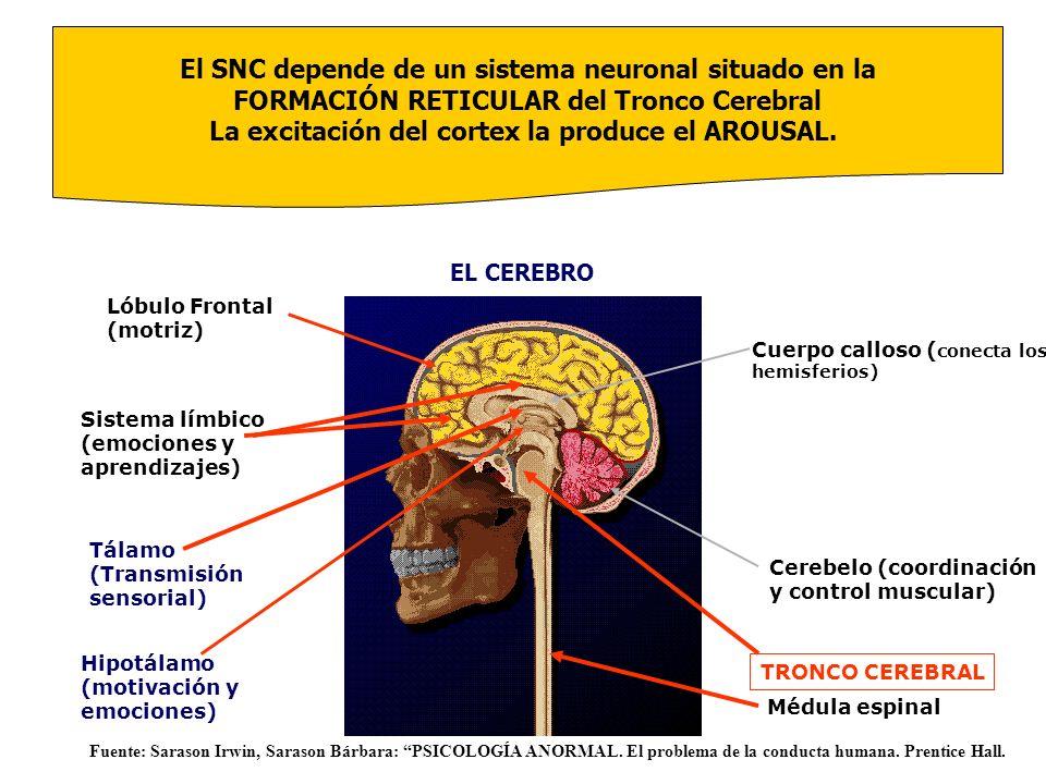 El SNC depende de un sistema neuronal situado en la